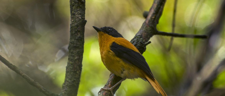 Black-and-orange Flycatcher BY Prasenjeet Yadav