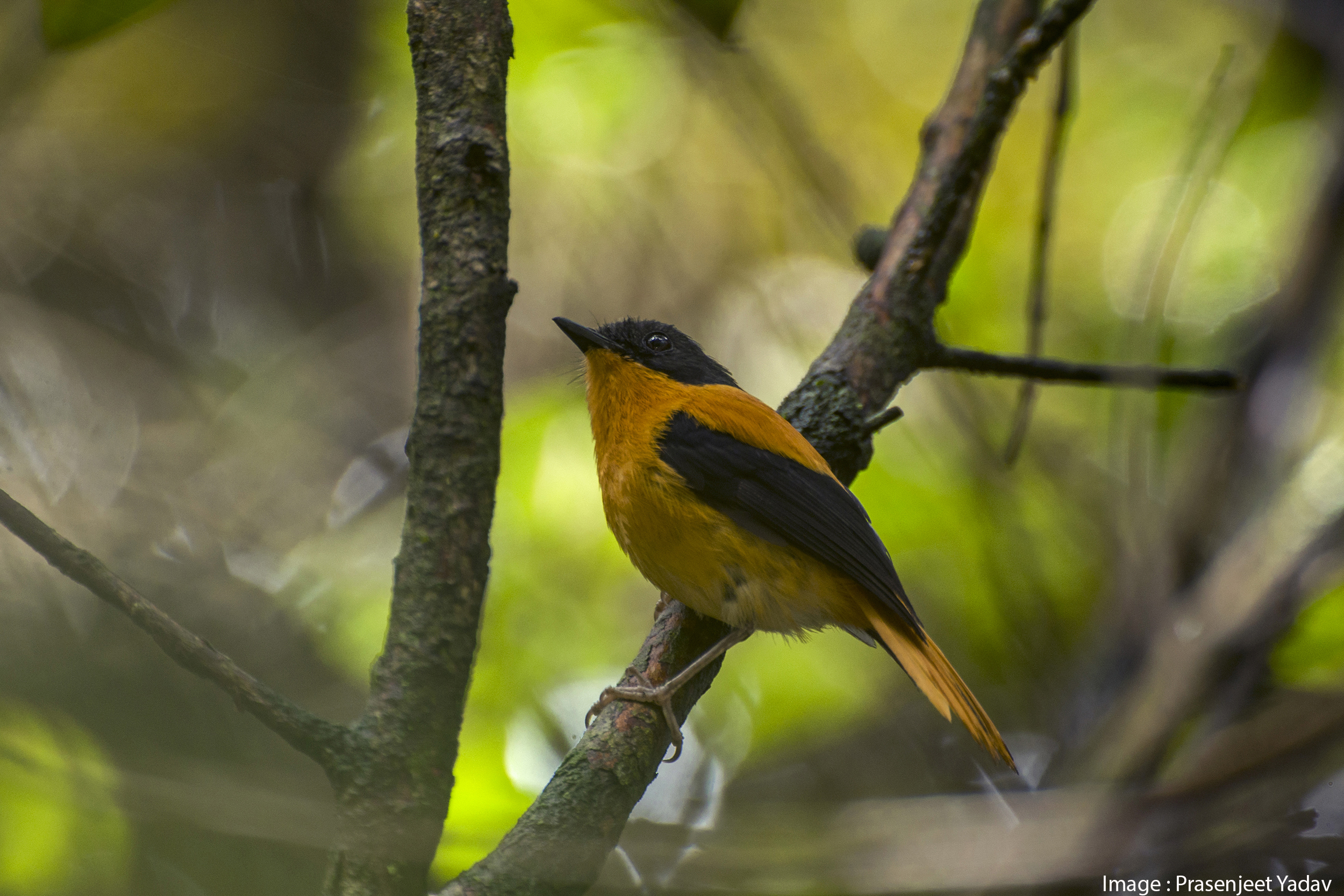 Black-and-orange Flycatcher BY Prasenjeet Yadav